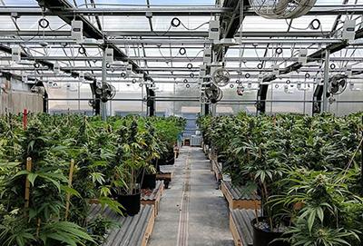 Cannabis Industry Photo courtesy Wikimedia Commons